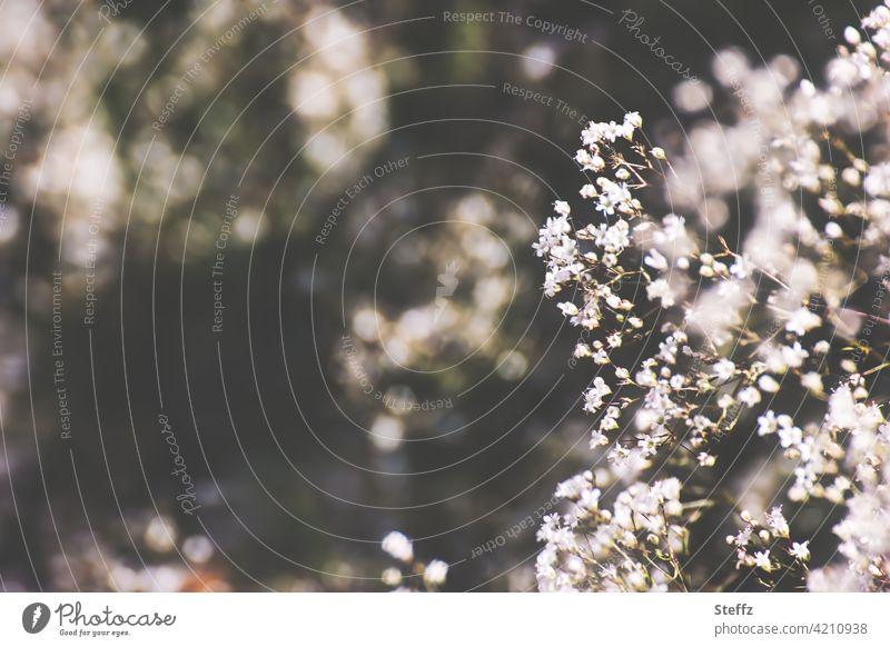 blühendes Schleierkraut Gipskraut Rispiges Gipskraut leicht Leichtigkeit zierlich Gypsophila Gypsophila paniculata zierliche Blüten weiße Blüten filigran zart