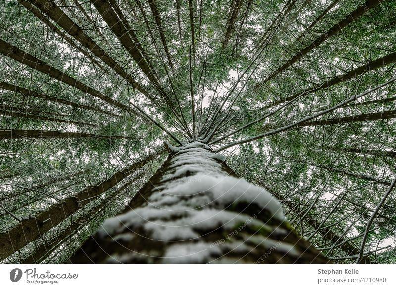 Schneebedeckter Baum Perspektive beeindruckende Ansicht nach oben als Symbol für eine Höhe-Konzept Baumkronen hoch Natur Winter Blatt Nachschlagen