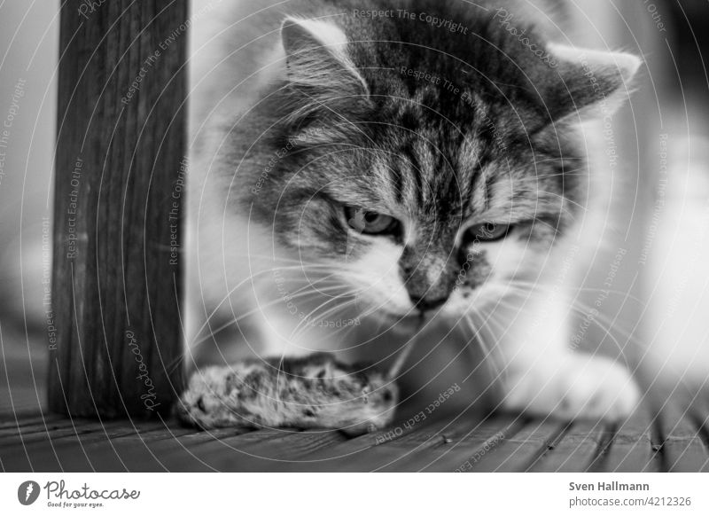 Kater mit Maus als Beute Katze Fell Tier Hauskatze niedlich Porträt Langhaarige Katze Blick Haustier beobachten grau katzenhaft Tierporträt Rassekatze fluffig