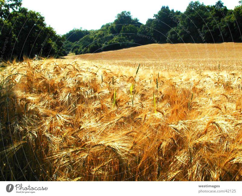 Kornfeld Natur Sommer Ernte