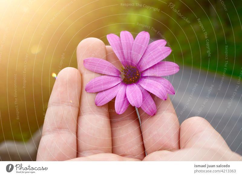Hand mit einer schönen rosa Blume Gänseblümchen Finger Körperteil Blütenblätter Pflanze Garten geblümt Natur dekorativ Frische im Freien romantisch Mode