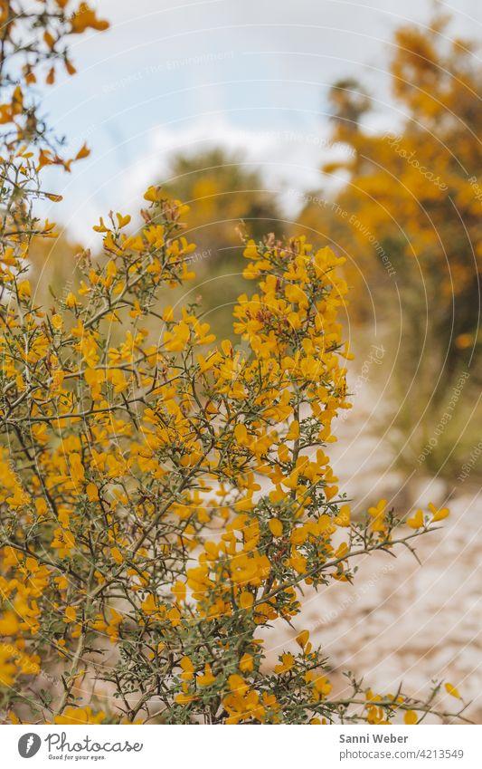 gelber Mimosen Strauch im Park Natural Mallorca Mimosengewächse Pflanze grün Farbfoto Blüte Außenaufnahme sensibel Sträucher Blume Menschenleer Tag Nahaufnahme