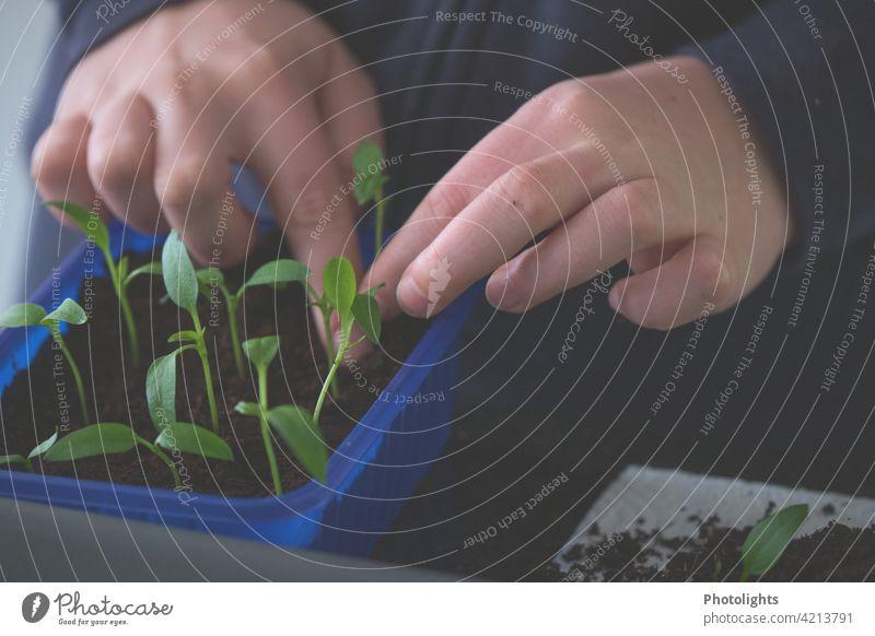 Kleine Paprikapflänzchen werden pikiert Gemüse rot Gesundheit Lebensmittel pikieren gärtnern grün blau Hände Hand Pflanze Pflänzchen zart viele mühsam Erde