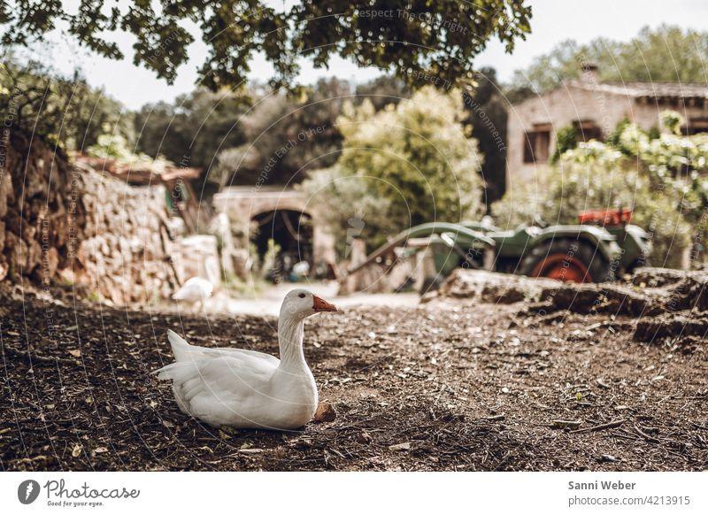Gans auf einem Bauernhof Vogel Tier Außenaufnahme Farbfoto Menschenleer Tierporträt Nutztier Schnabel Natur Umwelt Wiese Federvieh Freilandhaltung