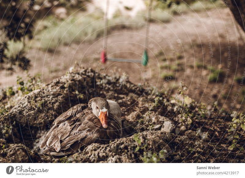 Gans im Nest Vogel Tier Außenaufnahme Farbfoto Tag Menschenleer Natur Umwelt natürlich Tierporträt brüten grau