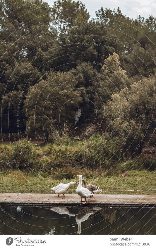 Gänse am Pool gänse Vogel Natur Tier Außenaufnahme Vögel Umwelt Tiergruppe Freiheit Gans Farbfoto Menschenleer