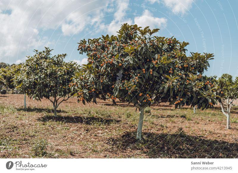 Orangenbaum in Artá Mallorca Farbfoto Außenaufnahme Baum Natur Frucht Gesundheit Vitamin C Lebensmittel Ernährung orange Bioprodukte Gesunde Ernährung