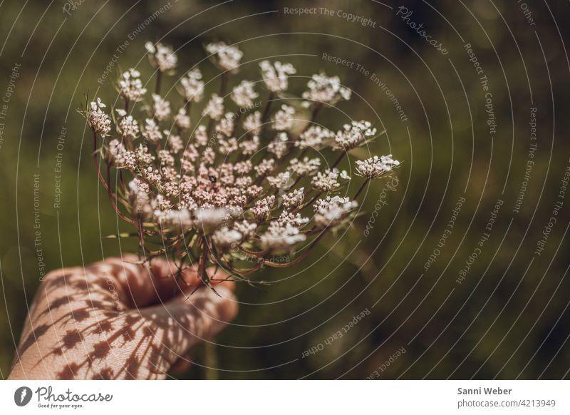 Dillpflanze Mallorca Pflanze Außenaufnahme Natur Farbfoto Menschenleer Nutzpflanze Umwelt Dillblüten Nahaufnahme Garten natürlich Kräuter & Gewürze