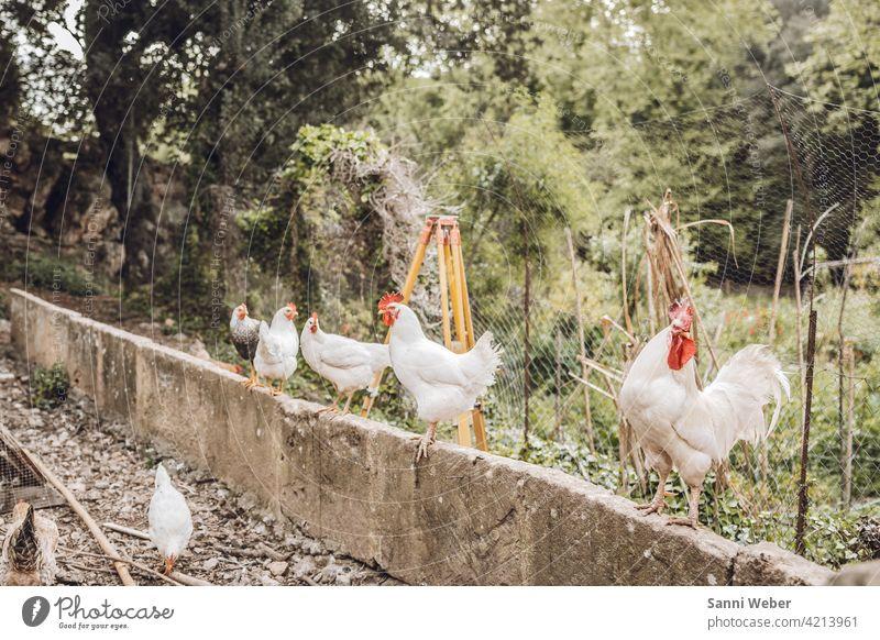 Bauernhof auf Mallorca Tier Farbfoto Außenaufnahme Tierporträt Natur Hahn Vogel Haushuhn Nutztier Landwirtschaft Haustier Geflügel Freilandhaltung