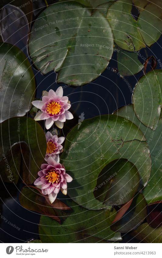 Seerosen Seerosenteich Seerosenblatt grün Natur Teich Außenaufnahme Farbfoto Menschenleer Pflanze Wasser Blatt Umwelt Tag Blüte Blume Blühend Wasserpflanze