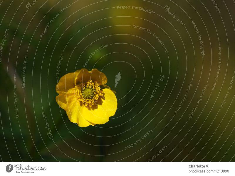 Dotterblumenblüte dotterblume Blüte Pflanze grün gelb Natur Frühling Blühend Blume Nahaufnahme Farbfoto Detailaufnahme Außenaufnahme Schwache Tiefenschärfe