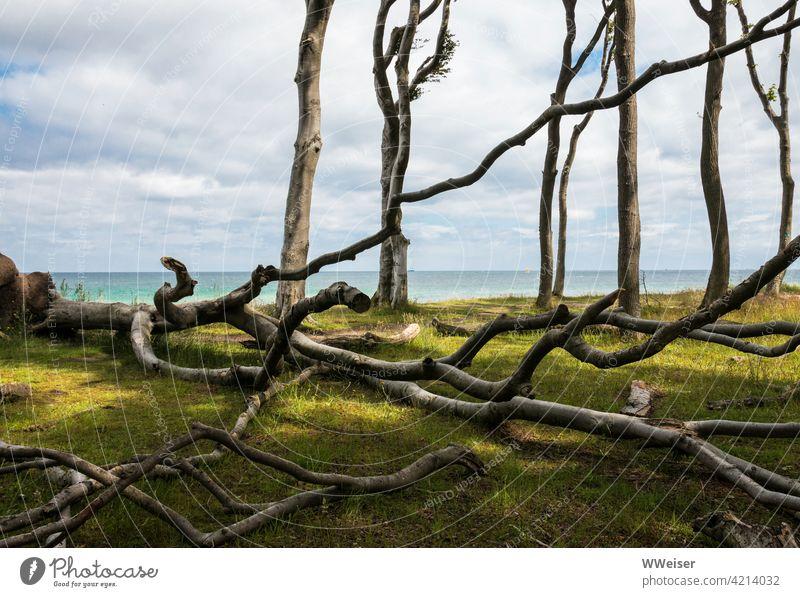 Tote und halbtote Bäume im Gespensterwald an der Ostsee Küste Geisterwald Baum absterben Licht heiter gespenstisch Diagonale Wolken Meer Aussicht Steilhang