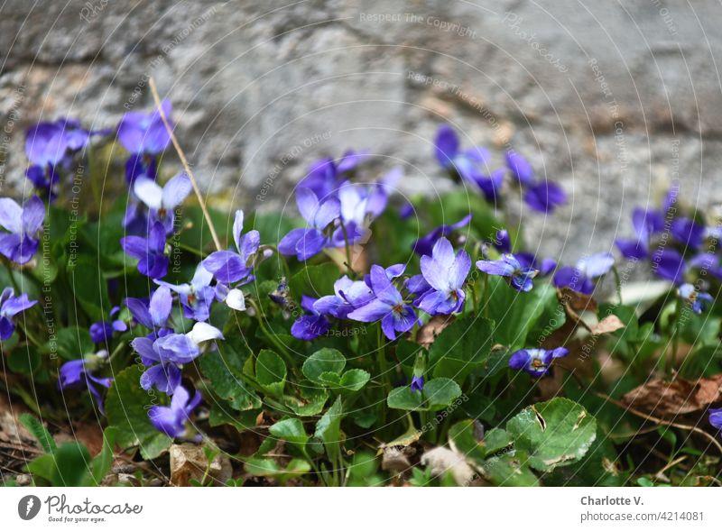 Veilchen Veilchengewächse veilchen Blume Pflanze Nahaufnahme Frühling Blüte Außenaufnahme Blühend Natur Detailaufnahme Farbfoto Menschenleer Garten