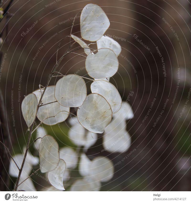 Samenschoten des Gartensilberblattes (Lunaria annua) Silberblatt Silberling Judassilberling Judaspfennig Silbertaler Kreuzblütler Zierpflanze Pflanze Natur