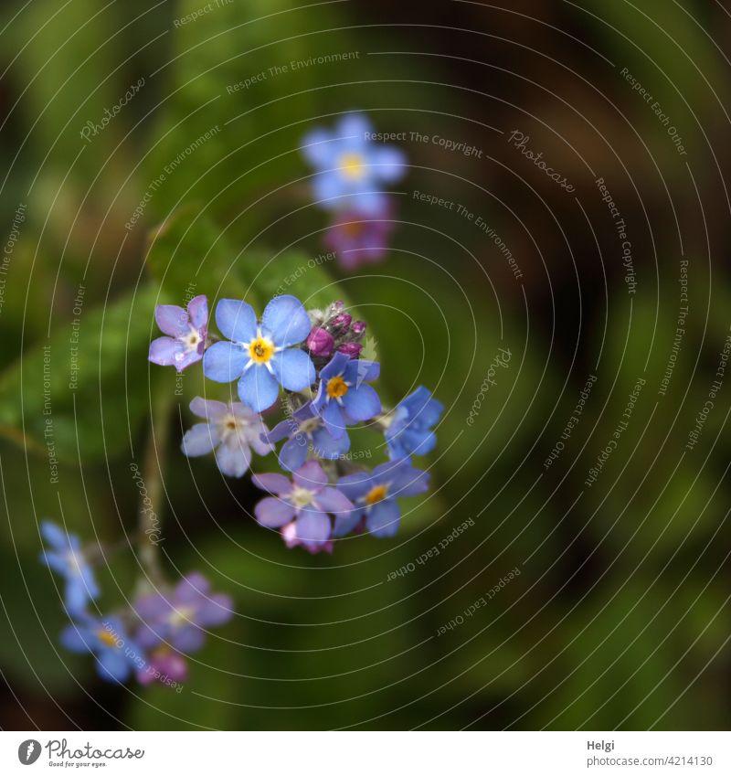 Vergissmeinnicht Blume Blüte Vergißmeinnicht Pflanze Frühling Natur Farbfoto Schwache Tiefenschärfe Blühend Menschenleer Nahaufnahme Außenaufnahme Garten