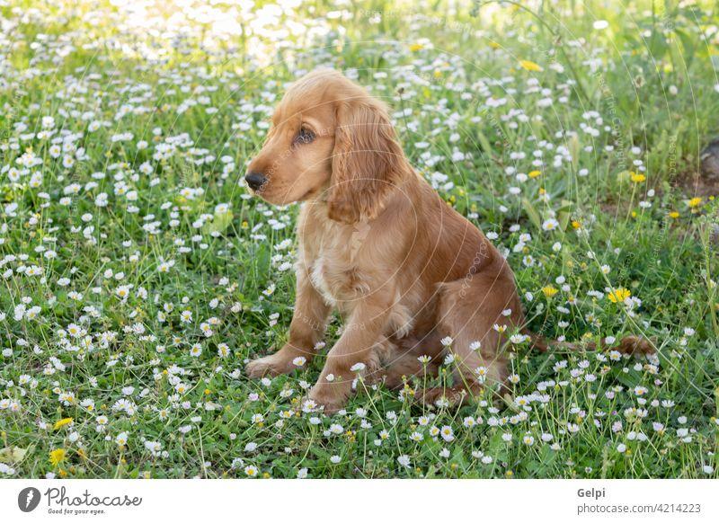 Kleiner Cocker Spaniel Hund mit einem schönen blonden Haar außerhalb Haustier Blütezeit Frühling Tier jung Gras züchten heimisch Porträt niedlich Blume Natur