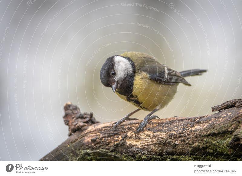 Kohlmeise auf Ast Vogel Meisen Tier Farbfoto Außenaufnahme 1 Natur Menschenleer Tag Wildtier Tierporträt Schwache Tiefenschärfe gelb Garten Umwelt grün