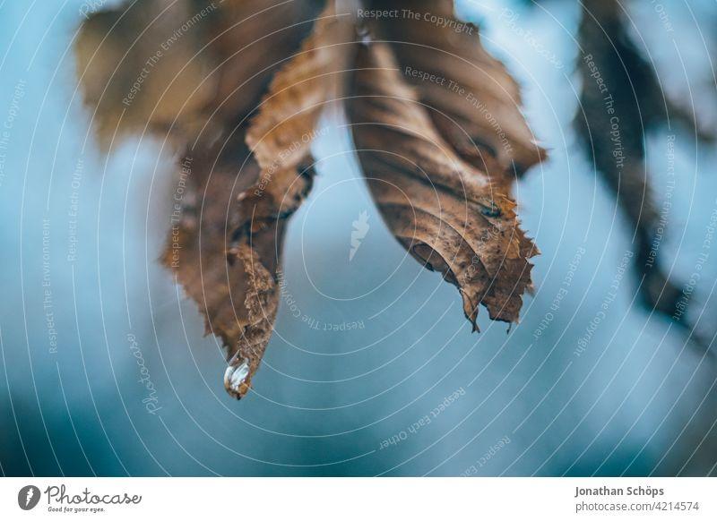 Zweig mit braunen Blättern im Winter mit Tropfen Makro Menschenleer Tag Nahaufnahme Außenaufnahme Hintergrundbild Farbfoto Strukturen & Formen Herbstlaub