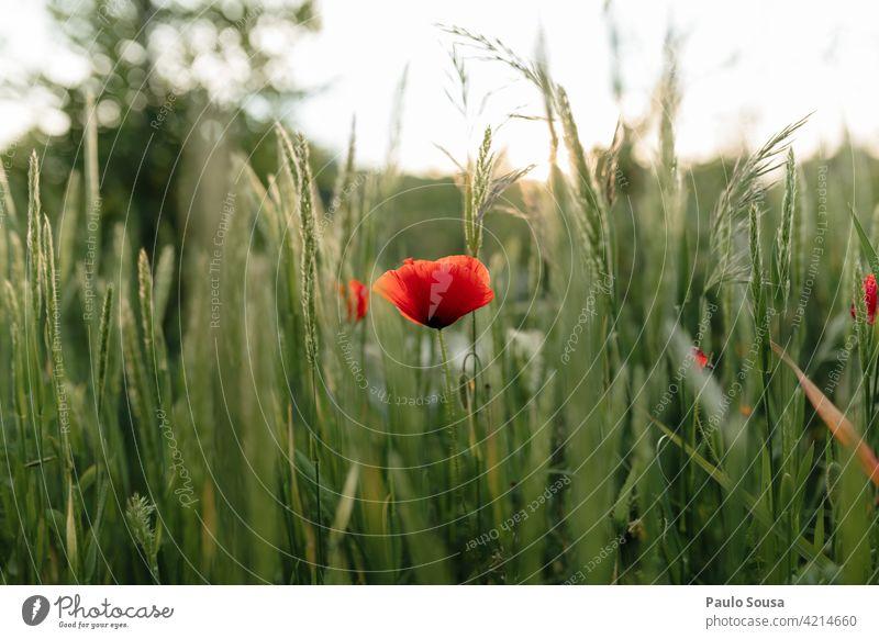 Nahaufnahme Mohnblume Mohnblüte Feld Frühling Frühlingsgefühle Sommer Blume Natur Pflanze Farbfoto Mohnfeld Blüte Wiese rot Außenaufnahme Idylle Landschaft