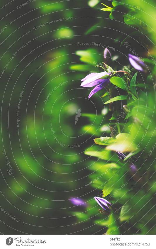 blühende Blümchen in der Hecke Heckenpflanze Sichtschutz Abgrenzung Immergrüne Pflanzen wachsen Zaun Blütezeit Juni Gartenzaun Trennwand immergrüne Pflanze