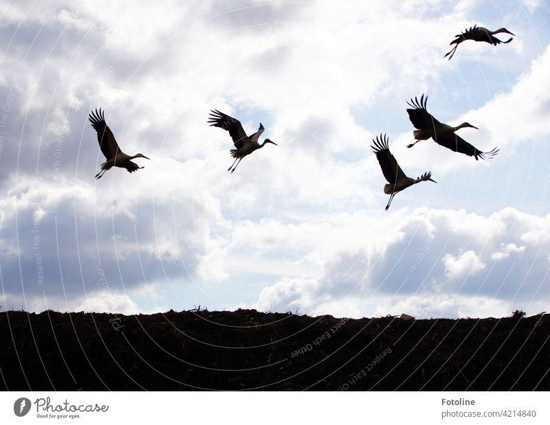 Storchenflug II Vögel Vogel Tier Außenaufnahme Farbfoto Wildtier Natur Tag Menschenleer Umwelt weiß Weißstorch Himmel schwarz Schönes Wetter blau