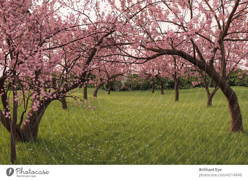 Japanische Kirschbaumallee auf der grünen Wiese ruhig Stille Blume Niederlassungen Frische Blumen Überstrahlung frisch April Blütezeit Japanische Kultur