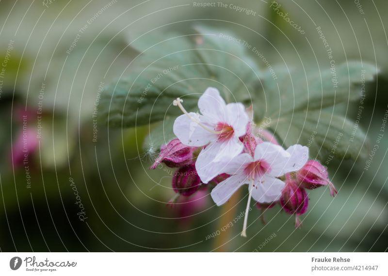 Felsen-Storchschnabel Blüten und Knospen rosa Frühling Blume grün Pflanze zwei Blüten blühend Garten Nahaufnahme