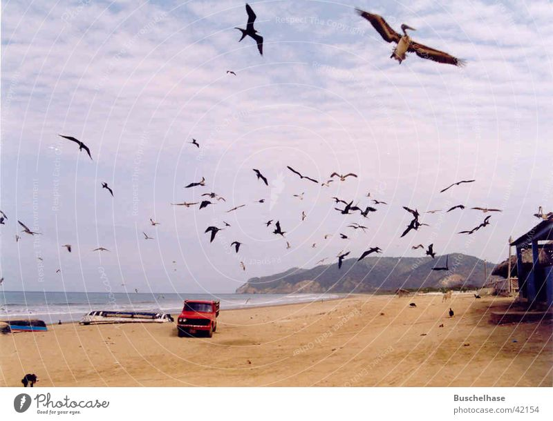 Pelikane Strand Südamerika Ecuador