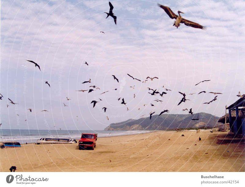 Pelikane Strand Südamerika Pelikan Ecuador