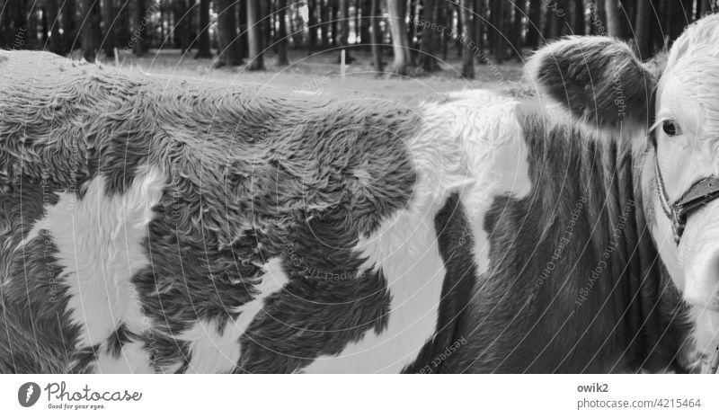 Kuhauge sei wachsam Fell Rücken Kopf Detailaufnahme Blick Blick in die Kamera argwöhnisch Muster Struktur Schwarzweißfoto Panorama (Bildformat) Auge Ohr
