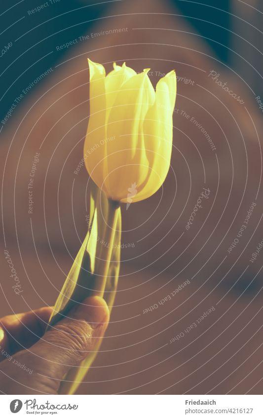 Gelbe Tulpenblüte in einer Hand gelb Detailaufnahme Innenaufnahme unscharfer Hintergrund Blume Frühling Farbfoto Blüte Nahaufnahme Pflanze Frühlingsgefühle