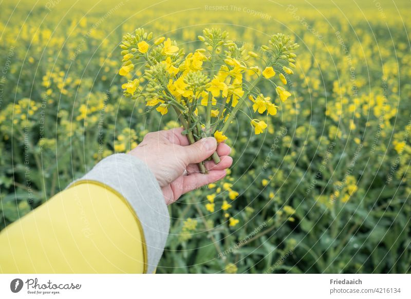 Rapsblüten in einer Hand am Rapsfeld gelbe Jacke Rapsanbau Landwirtschaft Nutzpflanze Feld Natur Landschaft Umwelt Tag Pflanze Wachstum Frühling Farbfoto Rapsöl