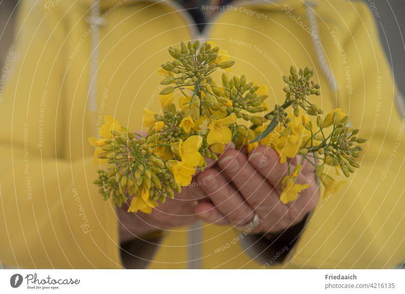 Gelbe Blüten in Frauenhänden mit gelber Jacke gelber hintergrund Hände unscharfer Hintergrund Schwache Tiefenschärfe Natur Toninton Farbfoto Pflanze Nahaufnahme
