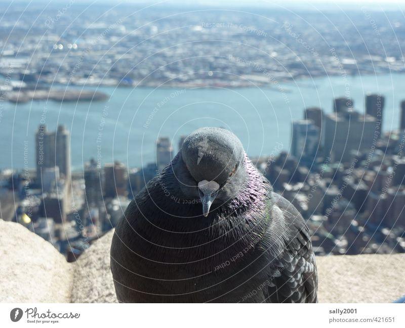 Skyline-Wächterin Stadt Erholung Tier Ferne Freiheit grau oben Horizont Vogel fliegen sitzen Hochhaus warten frei Abenteuer beobachten