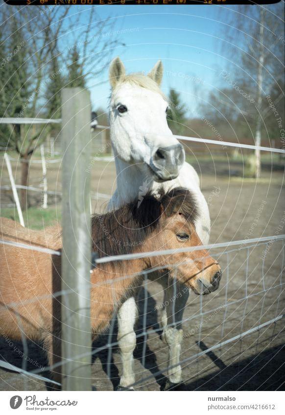 Getier pferd ponny Stufe koppel Biografie reiten reiterhof reiterferien mädchen pferderennen Fiel schimmel zaun reitsport tieraugen pferdedebulette pferdewurst