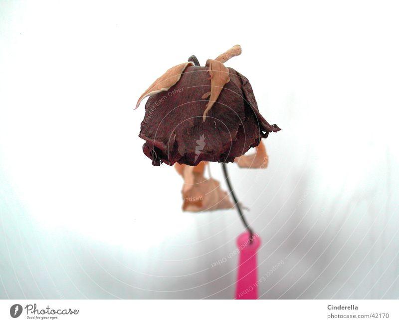 Zeitlos? Rose welk Blume Pflanze Dinge Vase alt