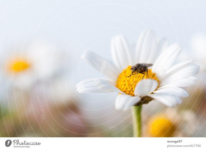 Es ist angerichtet... Natur Pflanze Tier Sommer Blume Blüte Wildpflanze Blütenpflanze Wiese Feld Fliege Insekt 1 braun gelb weiß Blumenwiese Nahrungssuche