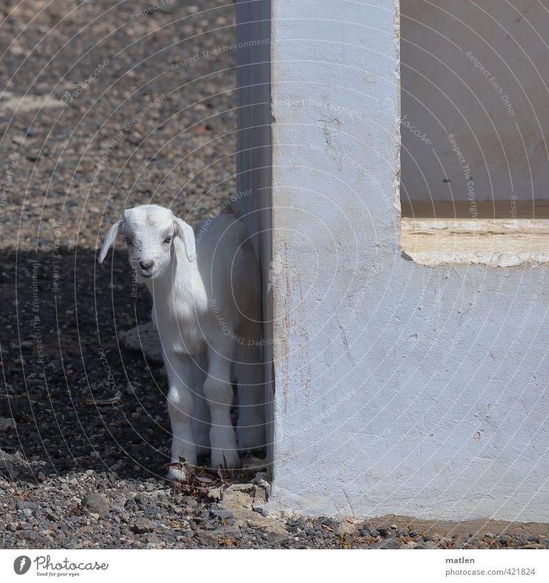 Schattensuche Schönes Wetter Tier Haustier 1 Tierjunges Stein Beton schwarz weiß Ziegen Zicklein Bushaltestelle warten Farbfoto Gedeckte Farben Außenaufnahme