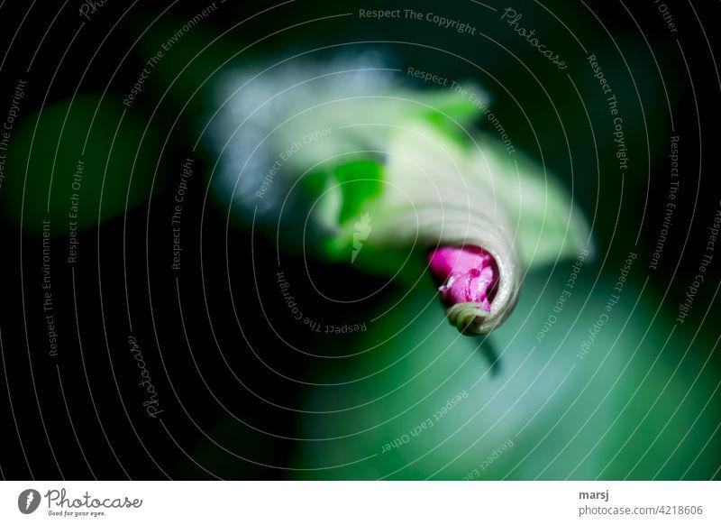 Es windet sich die Blüte der Ipomoea violacea aus seinem grünen Deckmantel Prunkwinde Prachtwinde Blume Kletterpflanzen Natur Garten Pflanze winden spiralförmig