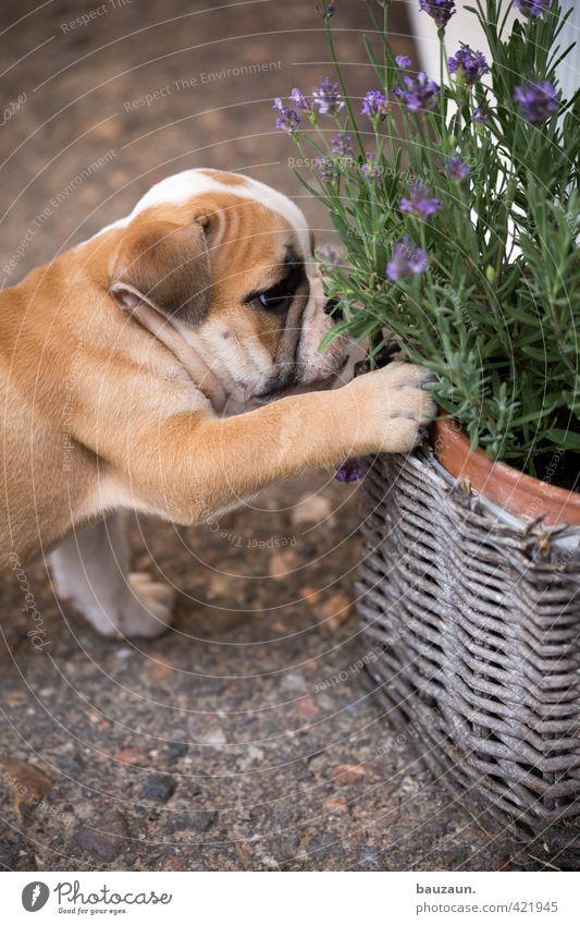 mops an lavendel. Hund Pflanze Freude Tier Tierjunges Spielen Wege & Pfade Garten Freizeit & Hobby Beton kaputt niedlich beobachten berühren Blühend Neugier