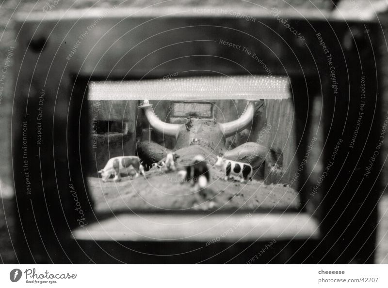 kuh in kuh Fenster Kuh Weide Horn Fototechnik Salzburg