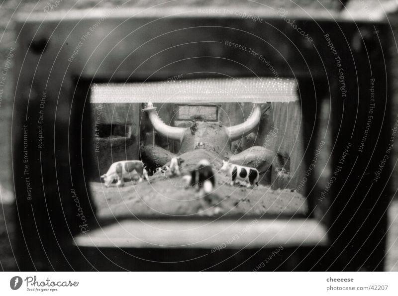 kuh in kuh Kuh Fenster Fototechnik Weide Salzburg Horn