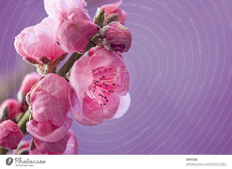 Zart und rosa: Aprikosenblüte am Zweig vor violetten Hintergrund Blüte Frühling Blühend Knospe Frühlingsgefühle Aprikosenbaum Obstblüte schön Duft Blüten zart