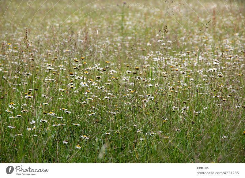 Grüne Wiese mit Gänseblümchen, Kamillenblüten und Gräsern Blumenwiese Blüten frühlingswiese Wiesenblume grün Gras Weide Sommer blühen Blühend wild Wildpflanze