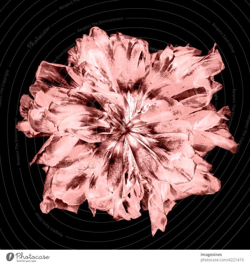 Röntgenaufnahme einer leuchtenden und verwelkten Tulpe Kreativ Kunst schön Pflanze Blüte dunkel schwarz Hintergrund projiziert verblasst Blume abstrakt