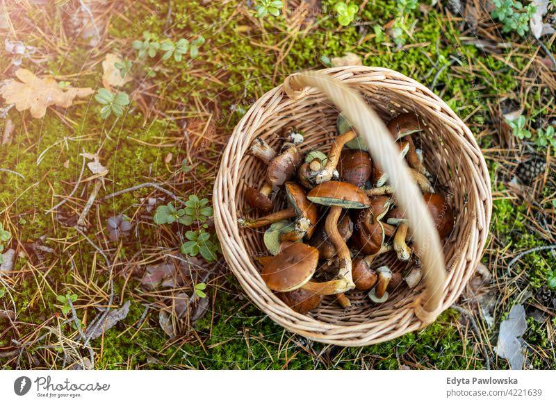 Korb voll mit Pilzen im Wald Lebensmittel frisch Gesundheit Pflanzen Bäume Polen Tag im Freien tagsüber Natur Herbst fallen wild grün Wildnis