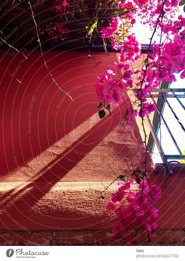 Mediterranes Stadtleben Bougainvillea Farbfoto Außenaufnahme rosa Blühend Licht Schatten Fassade Pflanze Menschenleer Sonnenlicht mediterran Blüte Kontrast