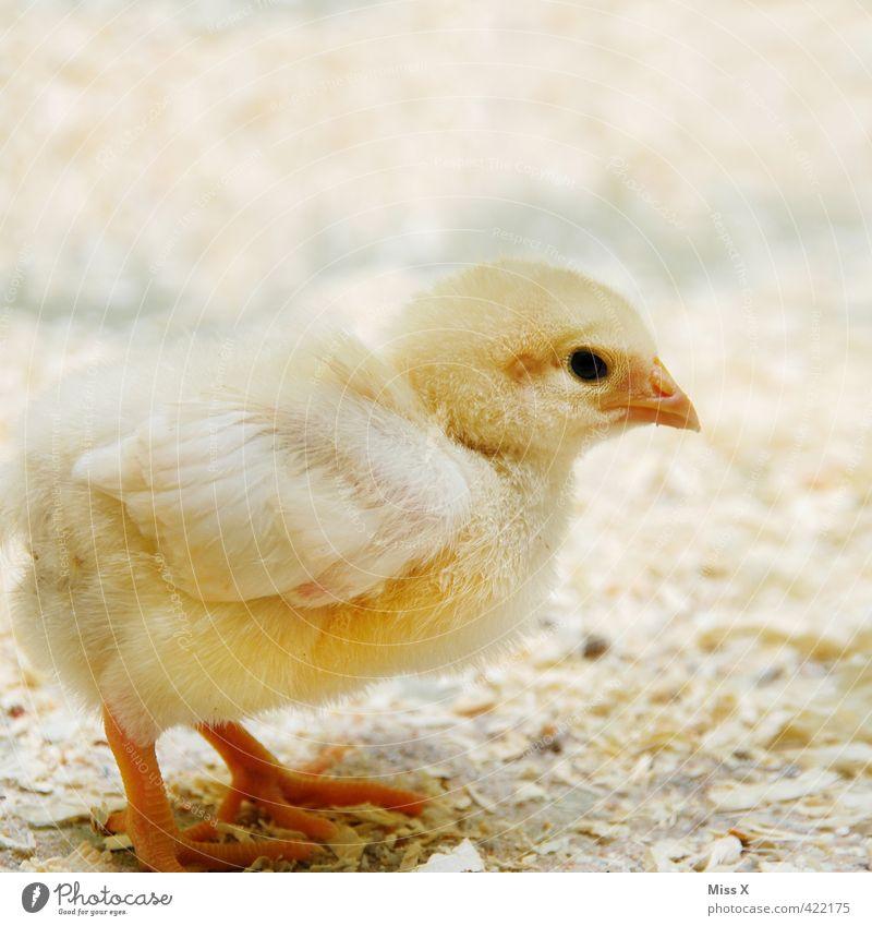 Kükük Tier gelb Tierjunges klein Vogel niedlich Tierzucht Haushuhn Nutztier Küken Geflügel Hühnervögel Freilandhaltung Hühnerstall Geflügelfarm Osterküken