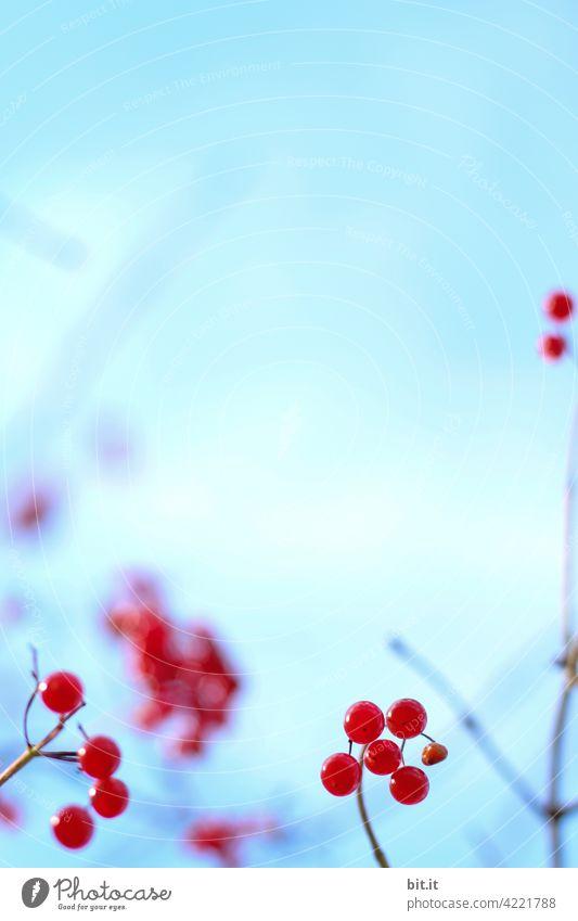 Rote Beeren, vor blauem Himmel... rot Blauer Himmel Beerensträucher Beerenfruchtstand Pflanze Natur Sträucher Tag Herbst Umwelt Schwache Tiefenschärfe Frucht