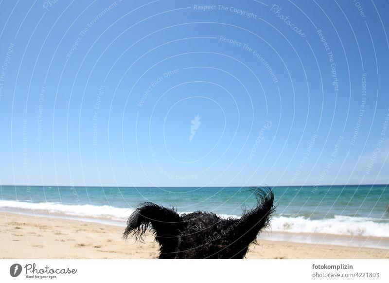 witzige Hundeohren vor strahlend blauem Meer und Himmel lustig Urlaubsfoto Tier Haustier Strand Strandleben Urlaubsstimmung Sonnenschein genießen frei hören